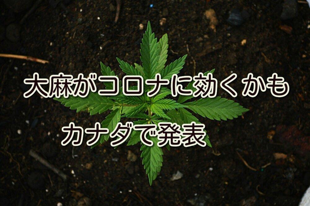 大麻がコロナに効くかも。カナダで発表。